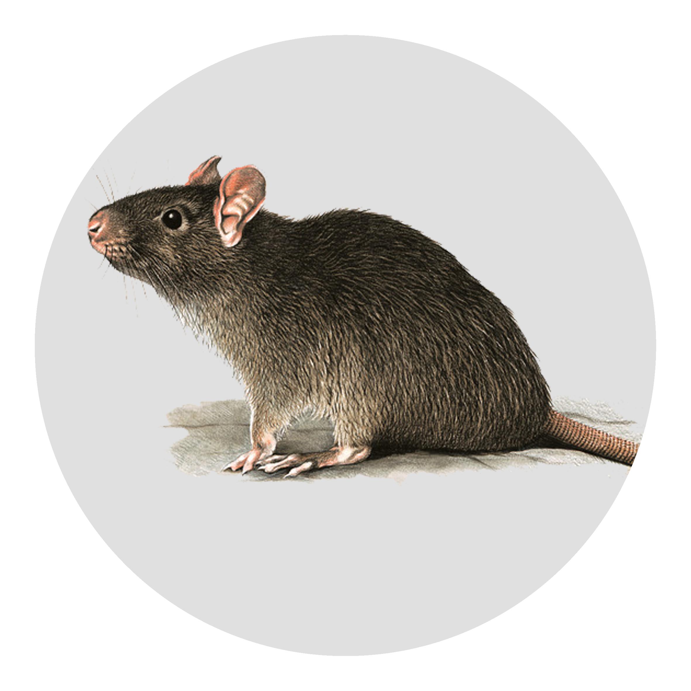 Diệt chuột tại Hải Dương và Hải Phòng